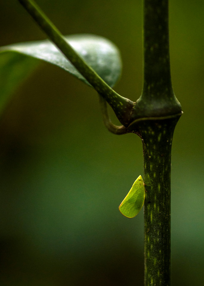 Leafy insect