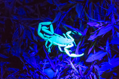 The exoskeleton glows under a black light