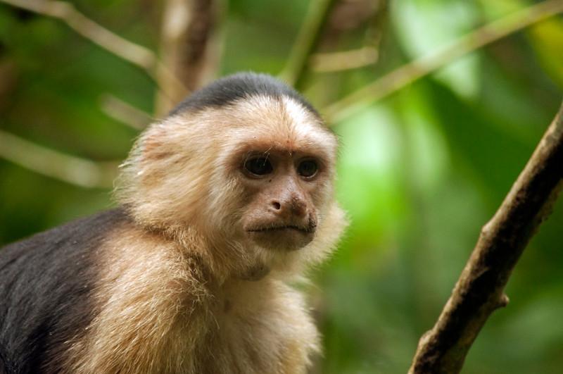 White-faced Capuchin Monkey (Cebus capucinus)
