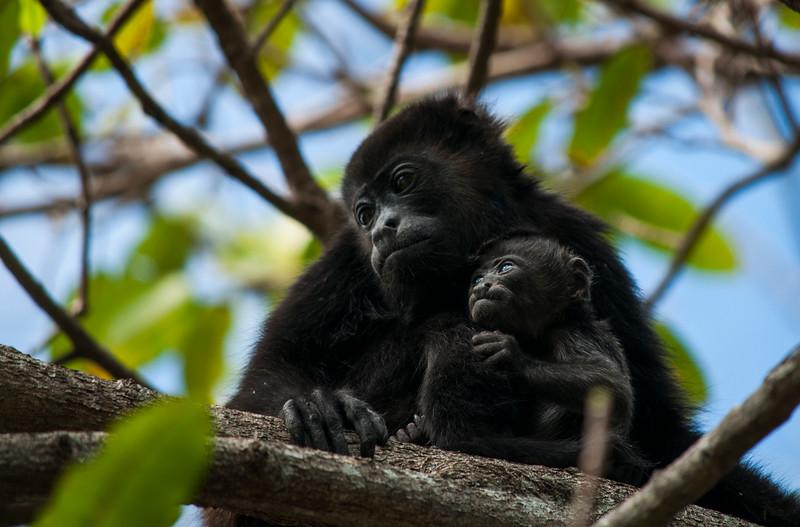 Mother and baby howler monkeys (Mantled Howler Monkey (Alouatta palliata)