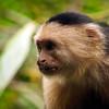 Curious White-faced Capuchin Monkey (Cebus capucinus)