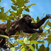 Mantled Howler Monkey (Alouatta palliata.) mother climbs from tree to tree with baby holding on,