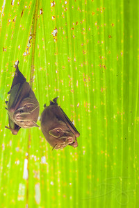 Nesting bats.