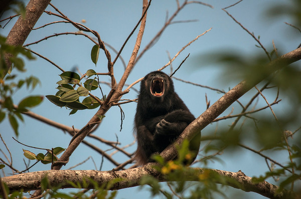 Mantled howler monkey (Alouatta palliata) howling