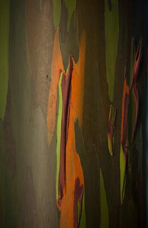 Rainbow Eucalyptus Tree (Eucalyptus deglupta)