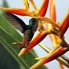 Colibri Mango de Prévost