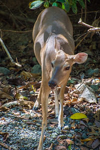 Nothing unusual about a white-tailed deer except that it seemed obivious to human presence.