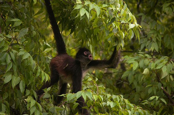 Geoffroy's spider monkey (Ateles geoffroyi) picking leaves