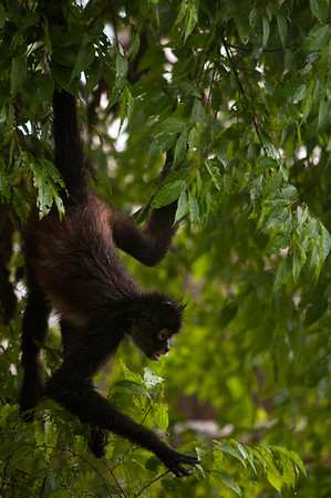 Geoffroy's spider monkey (Ateles geoffroyi) foraging for food