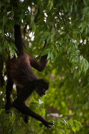 Geoffroy's spider monkey (Ateles geoffroyi) foraging for food