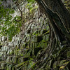Tree growing out of an ancient mayan staircase