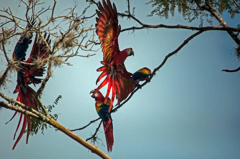 Scarlet Macaw (Ara macao) landing on branches