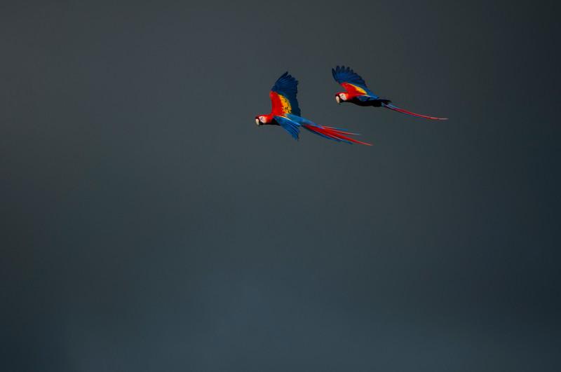 Scarlet Macaw (Ara macao) in flight