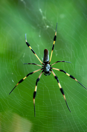Golden silk orb-weaver (Nephila sp.)