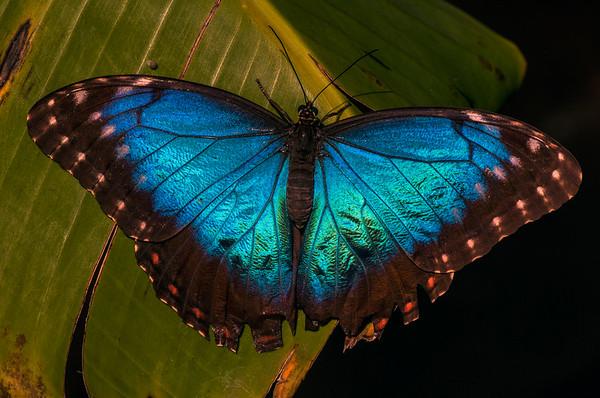 Mating Blue Morph (Morpho sp.)
