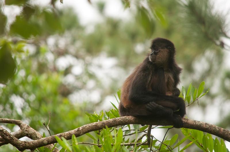 Geoffroy's spider monkey (Ateles geoffroyi) resting on a branch