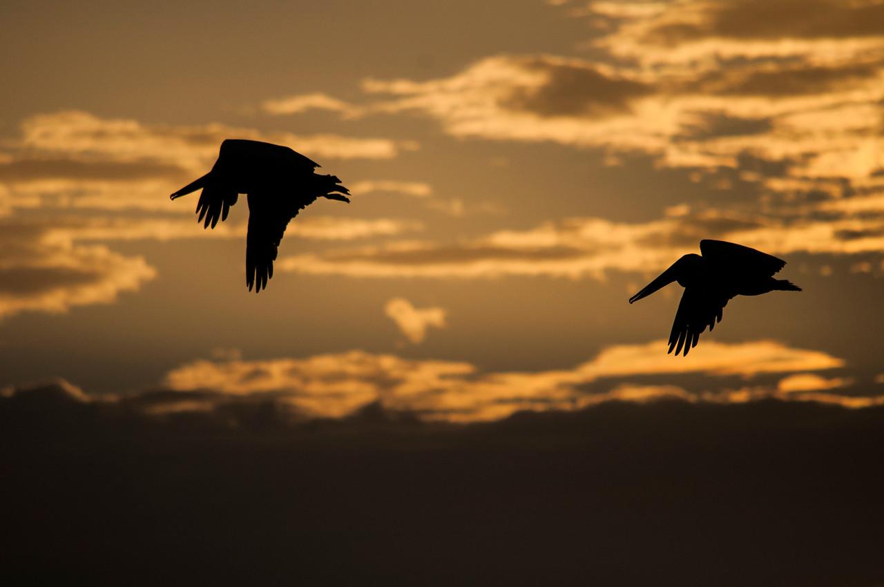 Brown Pelicans (Pelecanus occidentalis) flying at sunset