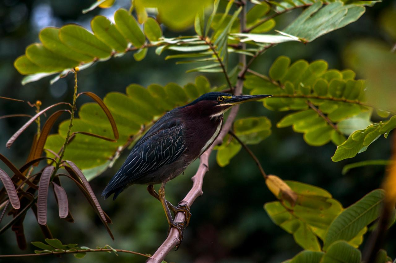 Green Heron (Butorides virescens) climbing a branch