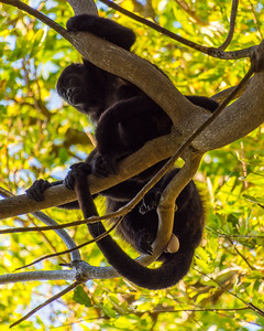 Howler monkeys