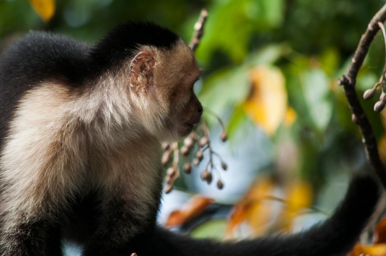 White-faced Capuchin Monkey (Cebus capucinus) looking away