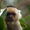 White-faced Capuchin Monkey (Cebus capucinus) hiding behind leaves