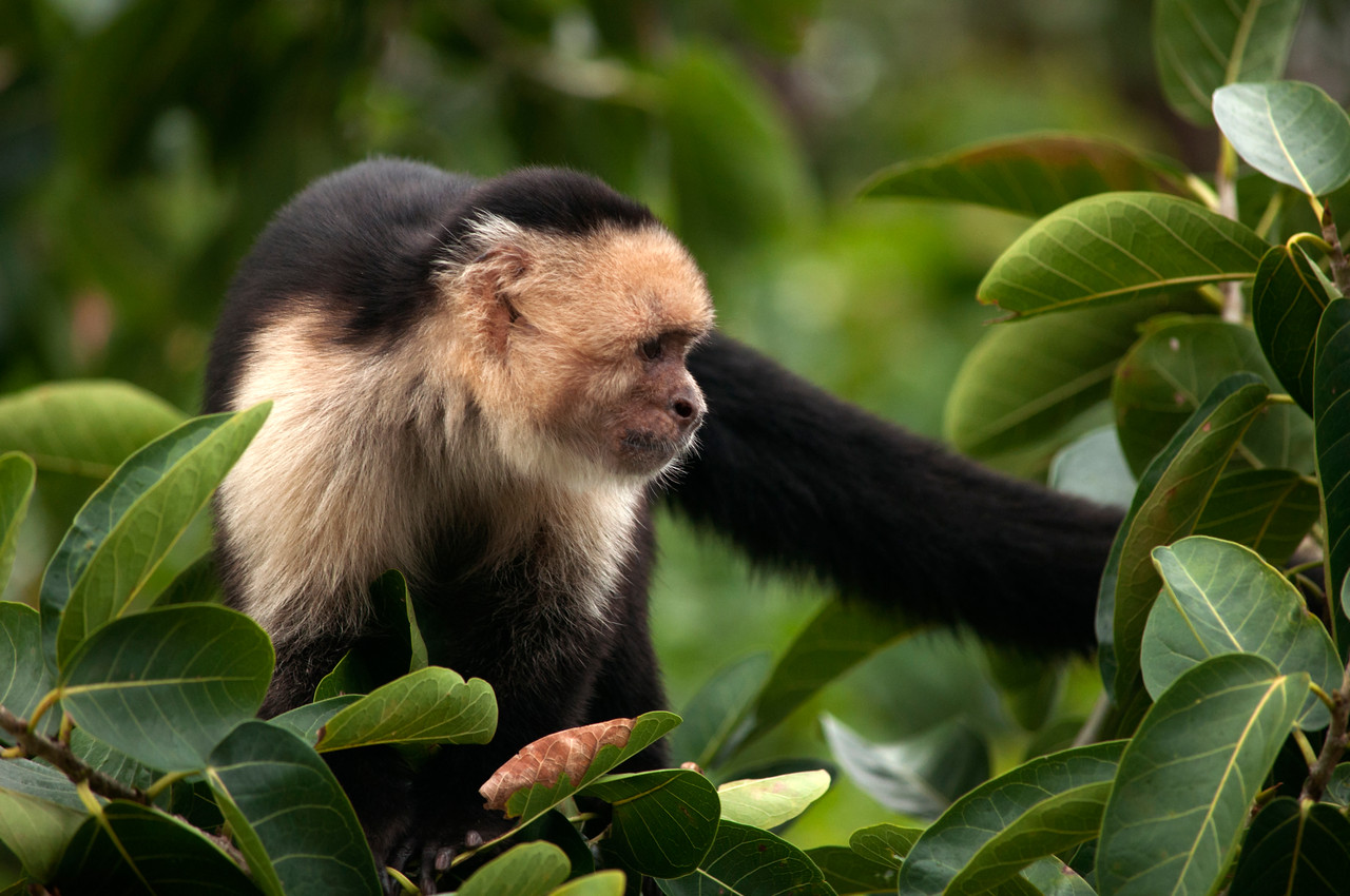 White-faced Capuchin Monkey (Cebus capucinus) on the move