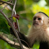 Young White-faced Capuchin Monkey (Cebus capucinus)