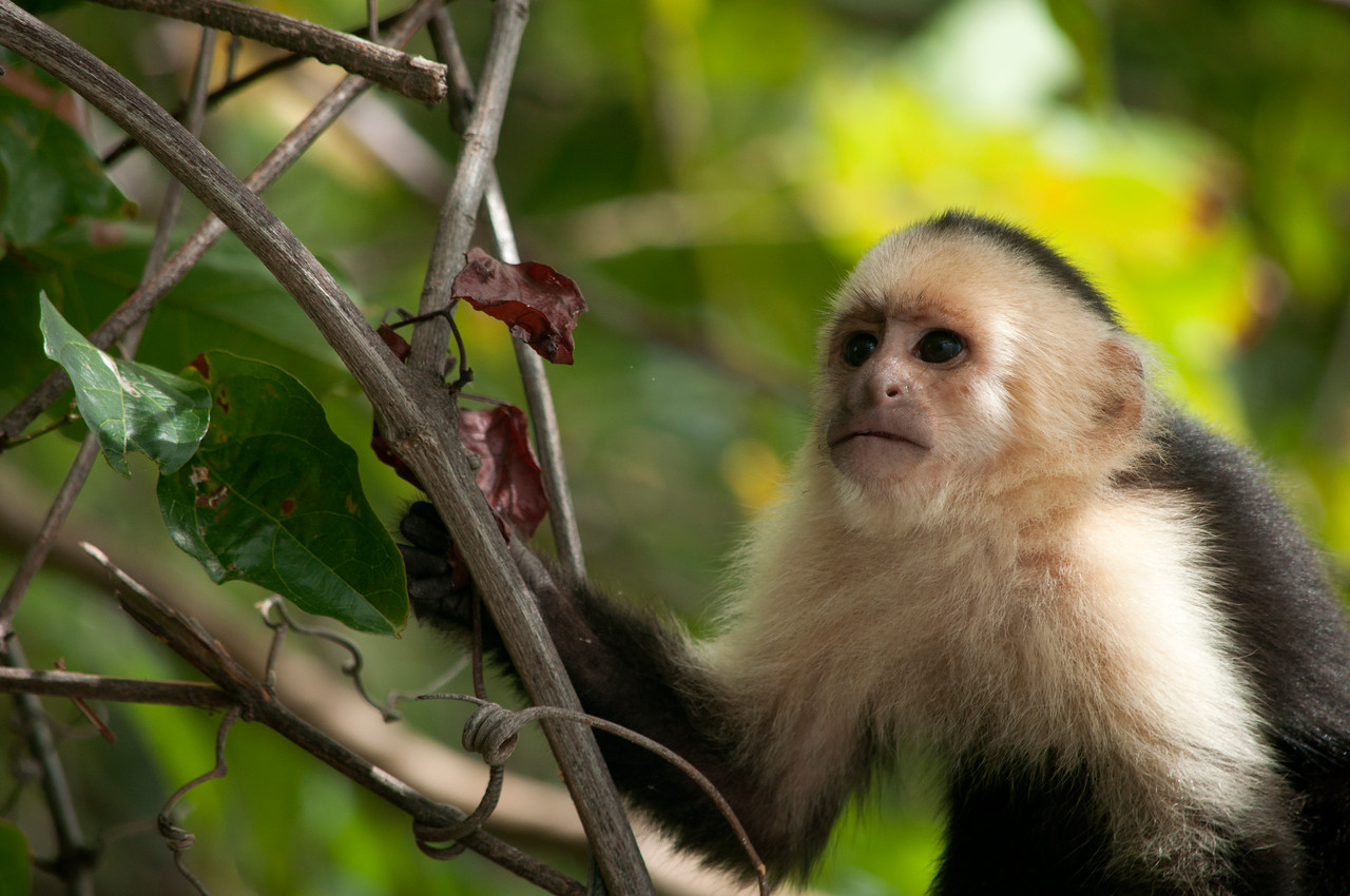 Young White-faced Capuchin Monkey (Cebus capucinus)