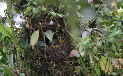 Thick-billed Euphonias in nest