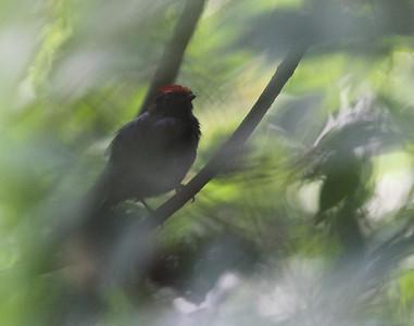 Rare siting: Lance-tailed Manakin!