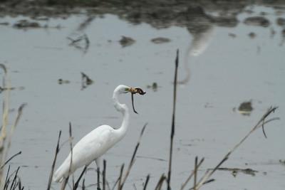 Egret with snake