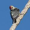 Red-crowned Woodpecker, by Donna Hollinger