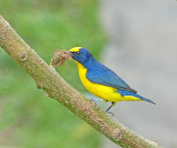 Thick-billed Euphonia, male, by Bill Gette