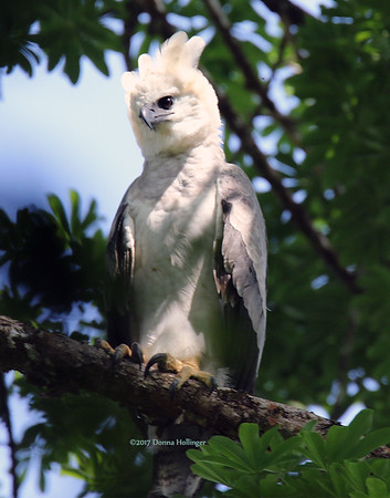 Harpy Eagle, by Donna Hollinger