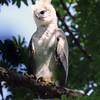 Harpy Eagle, by Donna Hollinger