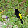 Flame-rumped Tanager, male, by Bill Gette