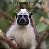 Geoffroy's Tamarin, by Donna Hollinger