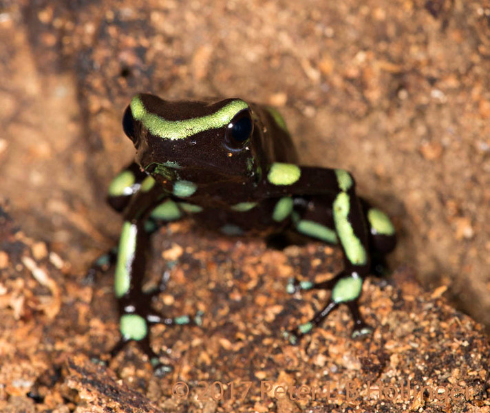 Green-and-Black Poison Dart Frog, by Peter Hollinger