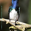White-necked Jacobin, by Donna Hollinger