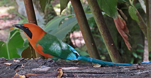 Rufous Motmot, by Donna Hollinger