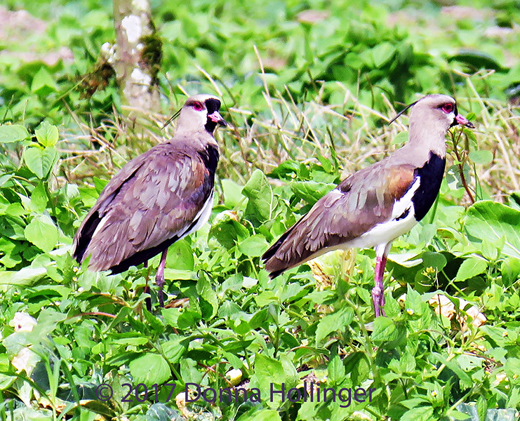 Southern Lapwings, by Donna Hollinger
