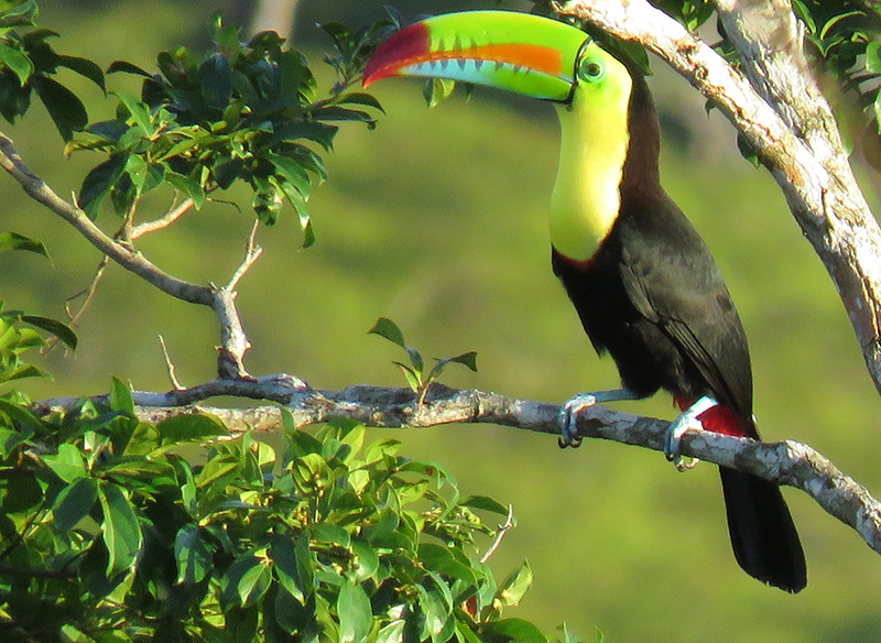 Keel-billed Toucan, by Donna Hollinger