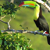 Keel-billed Toucan, by Donna Hollinger