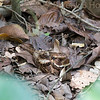 Camouflaged Rufous Nightjar, by Peter Hollinger