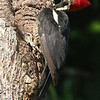 Lineated Woodpecker, by Donna Hollinger
