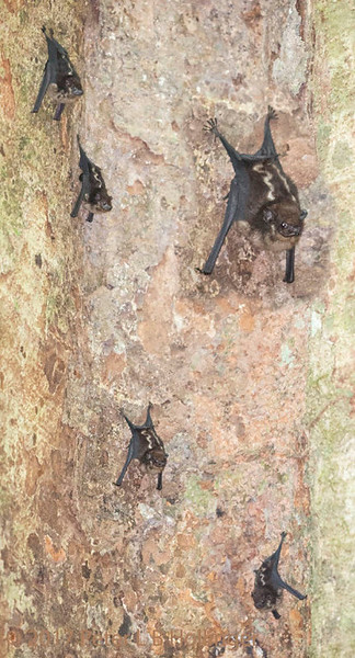 Lesser White-lined Bats, by Peter Hollinger