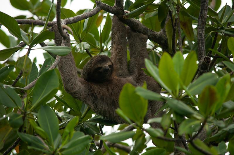 Three-toed Sloth (Bradypus sp.)