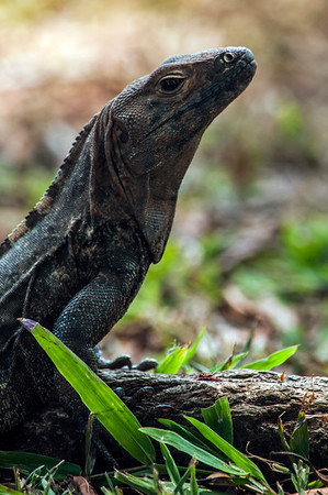 Monitor lizard (Varanus sp.)