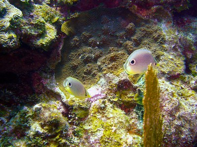 Fourspot Butterflyfishes