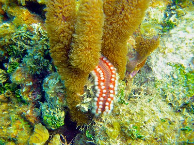 Red and white bearded fireworm
